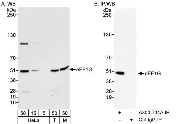 eEF1G Rabbit anti-Human, Mouse, Polyclonal, Bethyl Laboratories 100 μL;