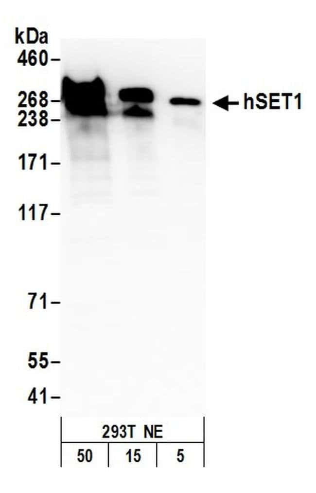 hSET1, Polyclonal, Bethyl Laboratories  20 µL; Unconjugated