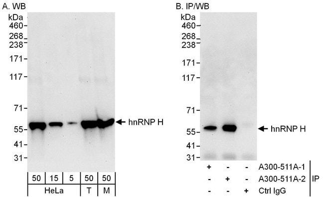 hnRNP-H Rabbit anti-Human, Mouse, Polyclonal, Bethyl Laboratories  100