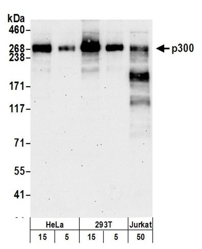 p300 Rabbit anti-Human, Polyclonal, Bethyl Laboratories  100 µL; Unconjugated