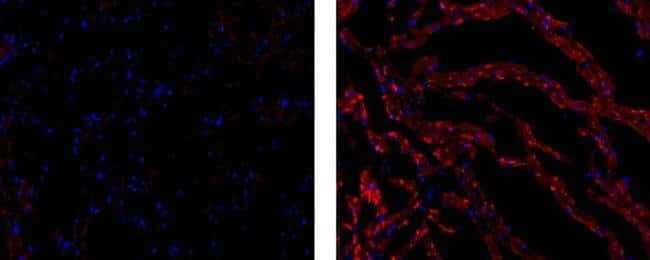 Connexin 43, Biotin, clone: Connexin43 (1A), eBioscience™: Primary Antibodies - Alphabetical Primary Antibodies