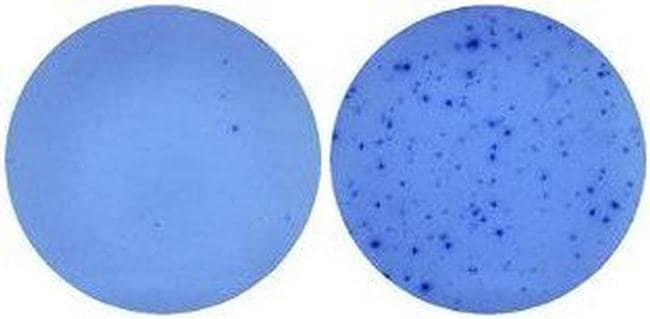 IL-5 Rat anti-Mouse, Biotin, Clone: TRFK4, eBioscience ::