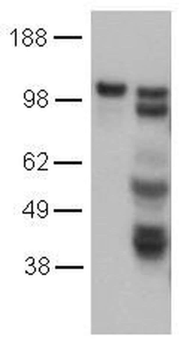 CD144 (VE-cadherin) Mouse anti-Human, Clone: 16B1, eBioscience™ 25 μg; Unconjugated CD144 (VE-cadherin) Mouse anti-Human, Clone: 16B1, eBioscience™