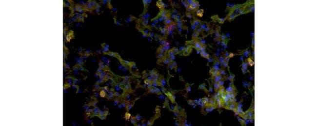 CD170 (Siglec F) Rat anti-Mouse, Clone: 1RNM44N, eBioscience™ 25 μg; Unconjugated CD170 (Siglec F) Rat anti-Mouse, Clone: 1RNM44N, eBioscience™