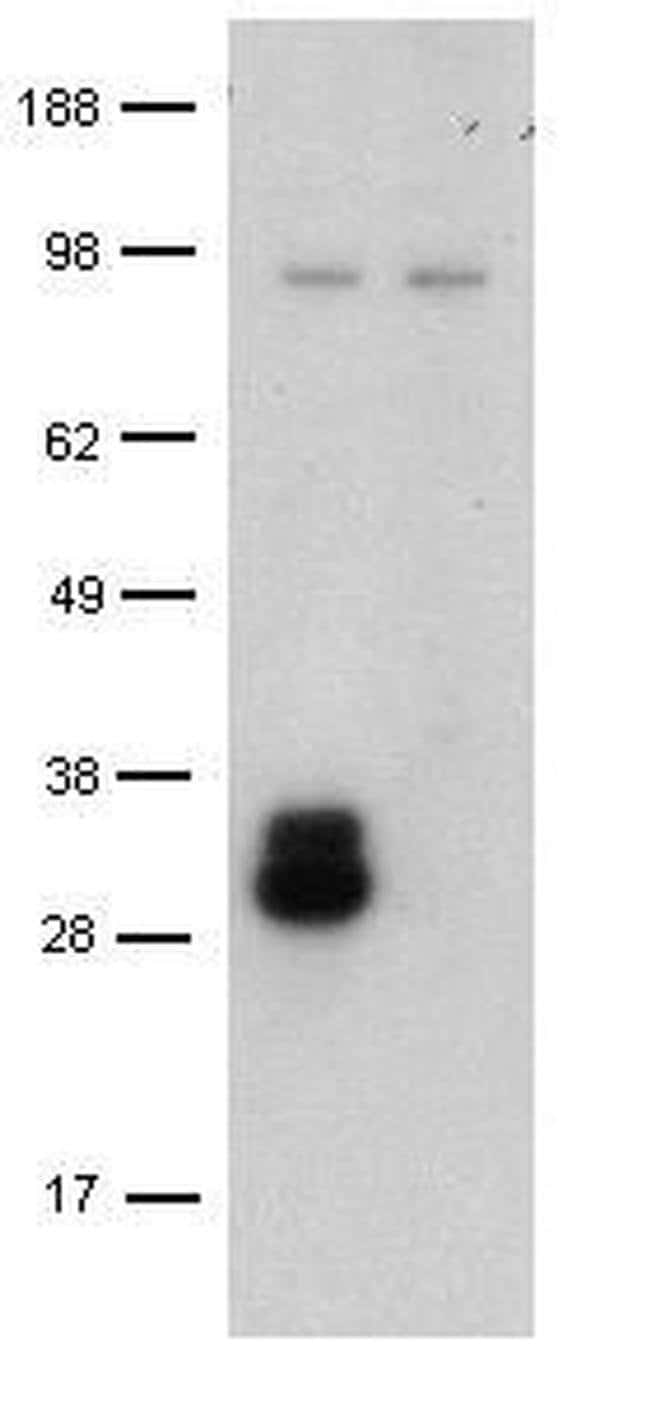CD209 (DC-SIGN) Rat anti-Mouse, Clone: LWC06, eBioscience ::