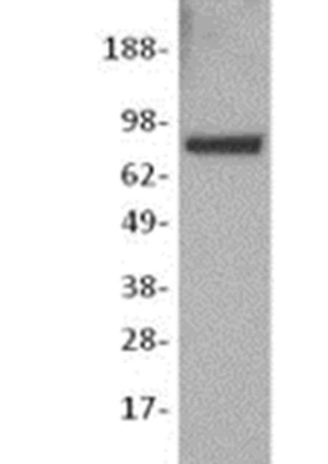 beta Catenin Mouse anti-Human, Mouse, Clone: 15B8, eBioscience ::