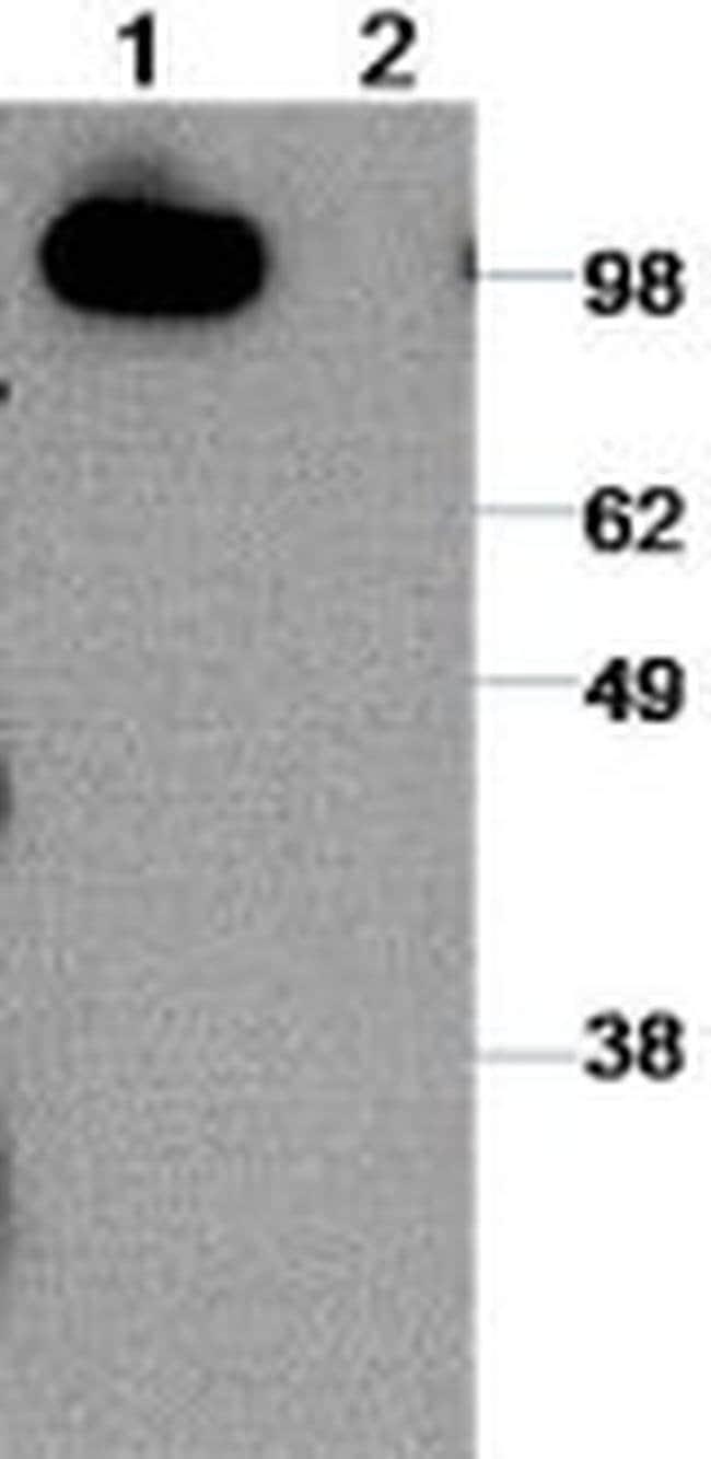 CD324 (E-Cadherin) Rat anti-Canine, Human, Mouse, Clone: DECMA-1, eBioscience