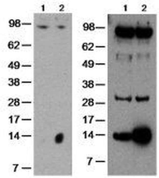 GILZ Rat anti-Human, Mouse, Clone: CFMKG15, eBioscience™ 100 μg; Unconjugated GILZ Rat anti-Human, Mouse, Clone: CFMKG15, eBioscience™