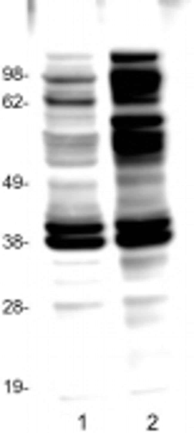 phospho-Tyrosine Mouse anti-Human, Mouse, Clone: pY20, eBioscience ::