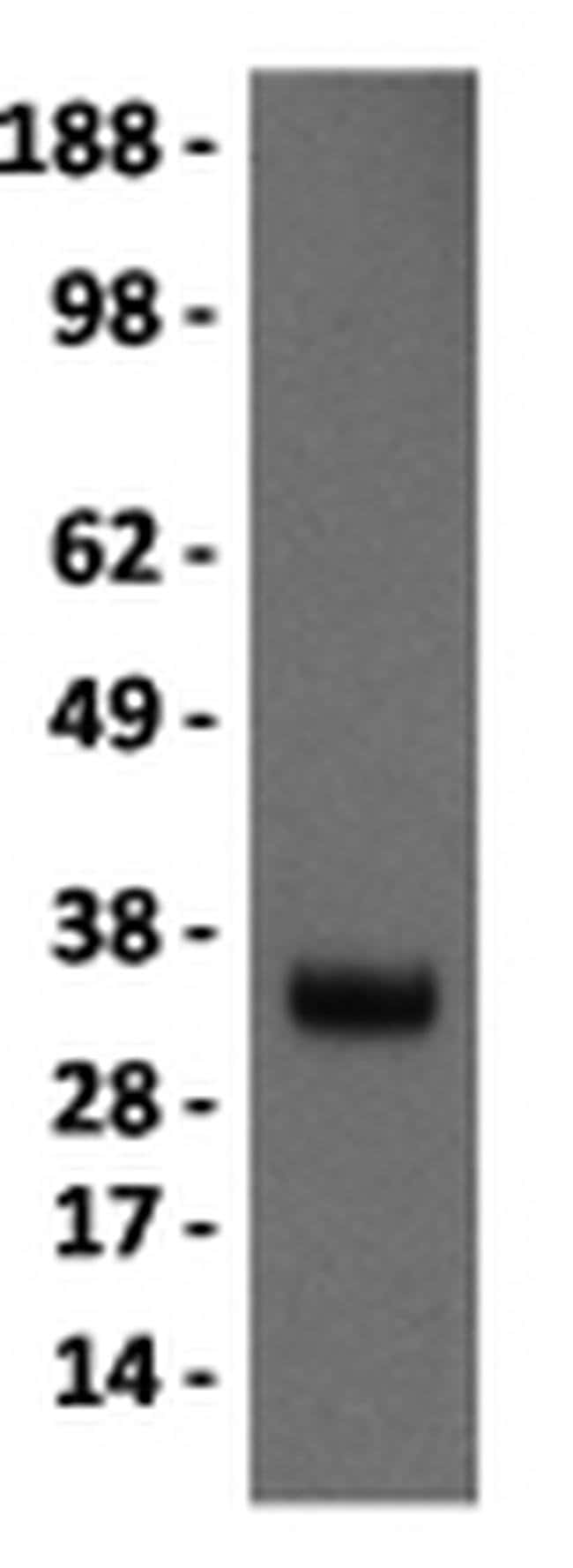 Myogenin Mouse anti-Canine, Human, Mouse, Rat, Clone: F5D, eBioscience