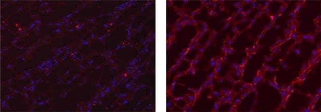 MERTK Rat anti-Mouse, Clone: DS5MMER, eBioscience™ 25 μg; Unconjugated MERTK Rat anti-Mouse, Clone: DS5MMER, eBioscience™