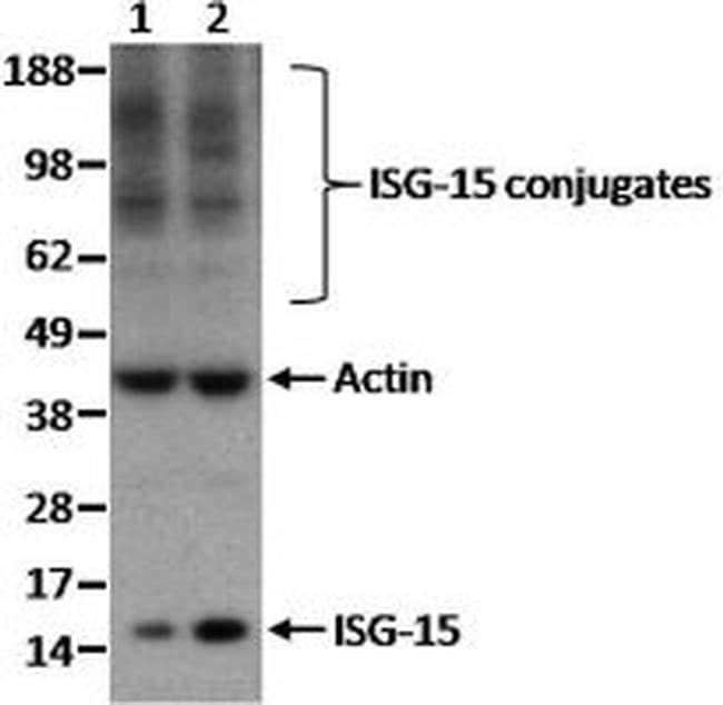 ISG15 Armenian Hamster anti-Mouse, Clone: 3C2, eBioscience ::