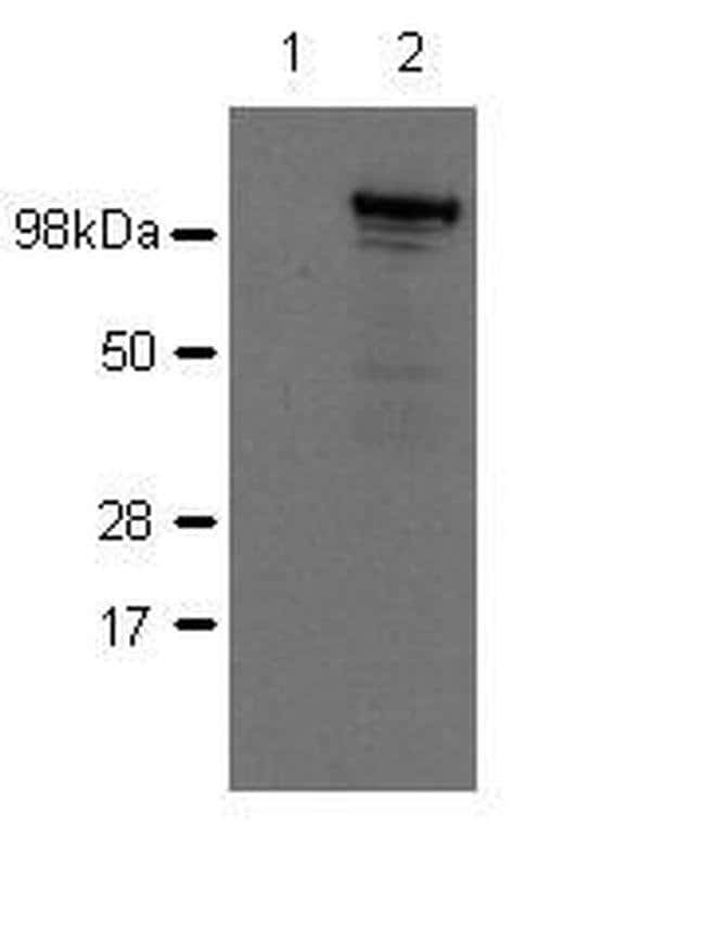 Nod2 Rat anti-Mouse, Clone: 26mNOD2, eBioscience™ 50 μg; Unconjugated Nod2 Rat anti-Mouse, Clone: 26mNOD2, eBioscience™