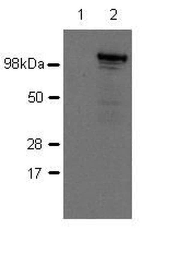 Nod2 Rat anti-Mouse, Clone: 26mNOD2, eBioscience  100 µg; Unconjugated
