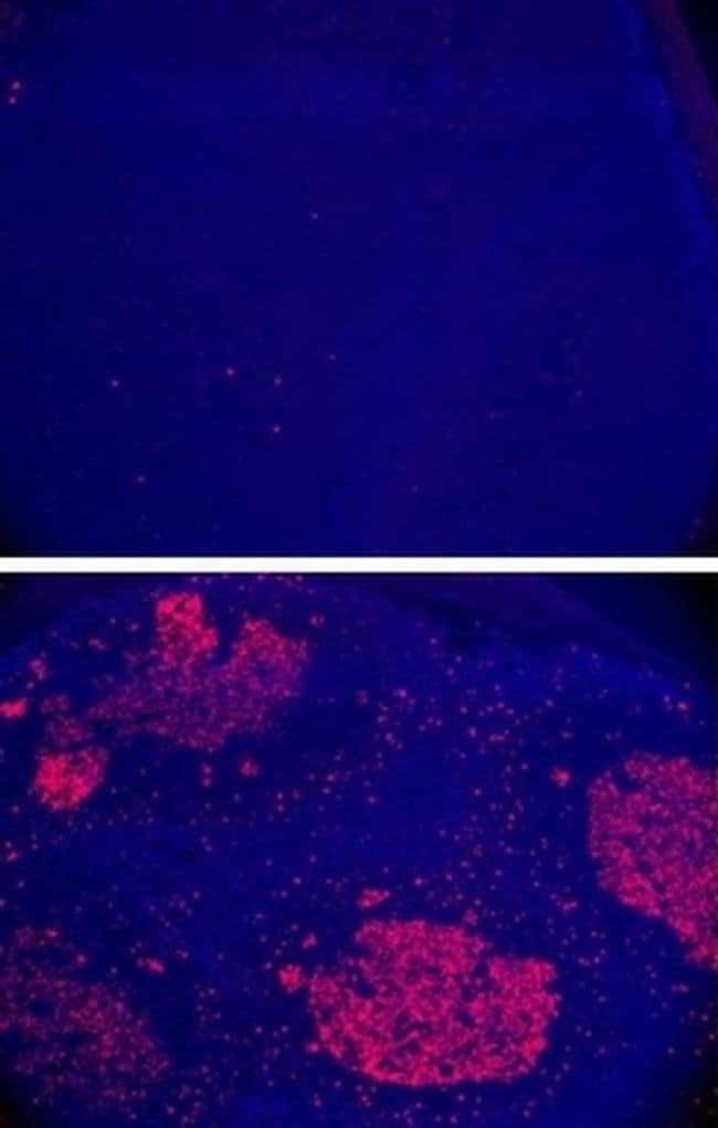 AID Rat anti-Human, Mouse, Clone: mAID-2, eBioscience™ 100 μg; Unconjugated AID Rat anti-Human, Mouse, Clone: mAID-2, eBioscience™