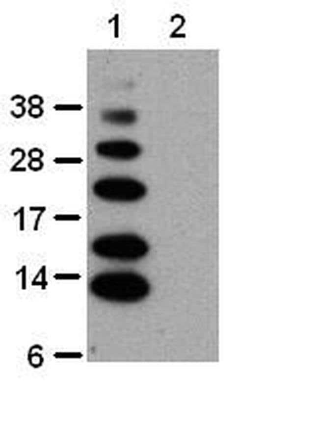 Ub-K63 Mouse anti-Human, Clone: HWA4C4, eBioscience ::