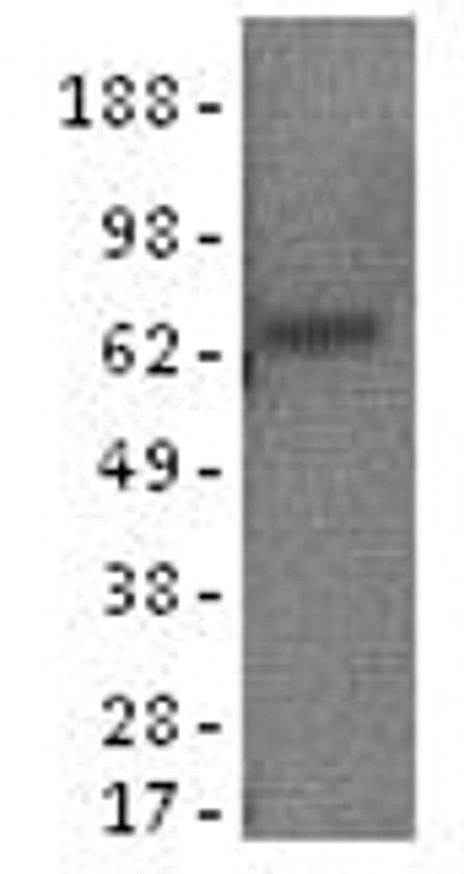 alpha-Fetoprotein Mouse anti-Human, Clone: AFP3, eBioscience™ 100 μg; Unconjugated alpha-Fetoprotein Mouse anti-Human, Clone: AFP3, eBioscience™