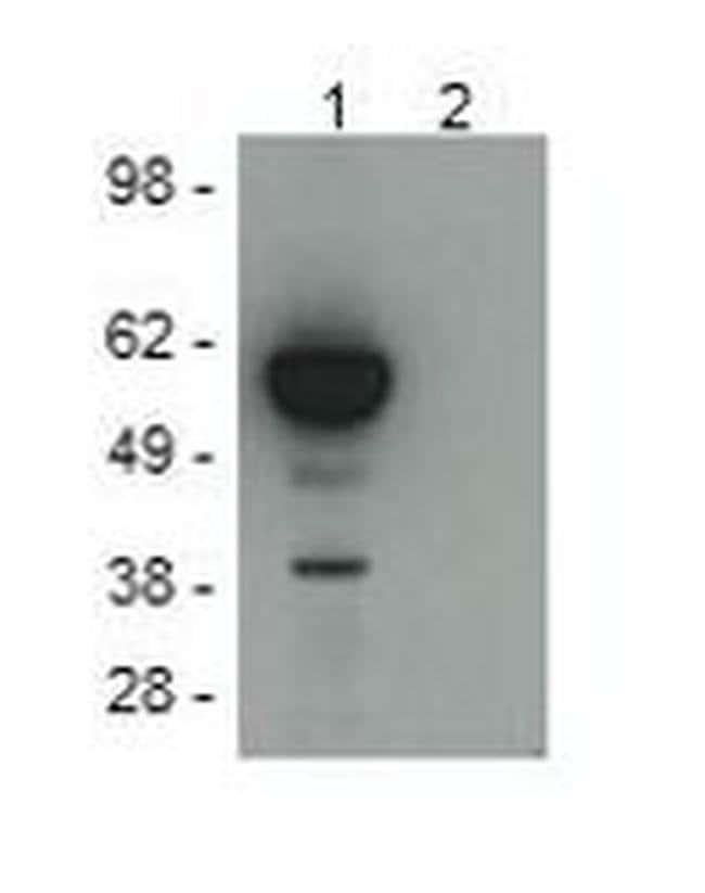 DYKDDDDK Tag Mouse anti-Tag, Clone: FG4R, eBioscience ::