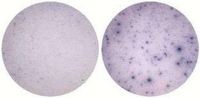 IL-1 alpha Armenian Hamster anti-Mouse, Clone: ALF-161, eBioscience™ 50 μg; Unconjugated IL-1 alpha Armenian Hamster anti-Mouse, Clone: ALF-161, eBioscience™