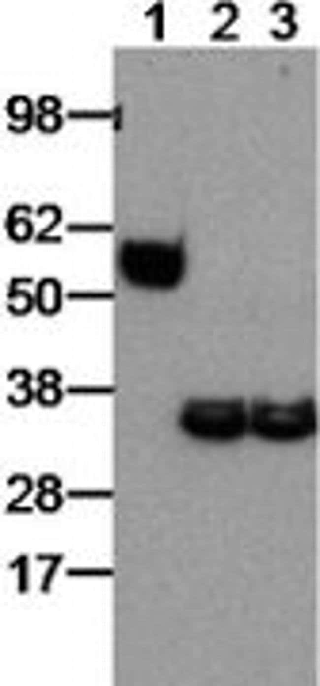 EBI3 (IL-27 subunit) Rat anti-Mouse, Clone: DNT27, eBioscience™ 100 μg; Unconjugated EBI3 (IL-27 subunit) Rat anti-Mouse, Clone: DNT27, eBioscience™