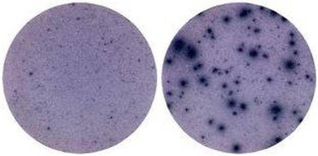 IFN gamma Rat anti-Mouse, Clone: AN-18, eBioscience™ 50 μg; Unconjugated IFN gamma Rat anti-Mouse, Clone: AN-18, eBioscience™