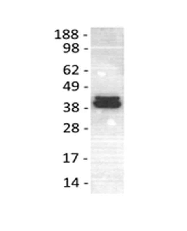 ERK1/2 Mouse anti-Human, Mouse, Rat, Clone: 5AD13MA, eBioscience ::