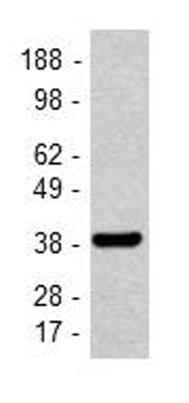 GAPDH Mouse anti-Human, Mouse, Non-human primate, Clone: FF26A, eBioscience™ 100 μg; Unconjugated GAPDH Mouse anti-Human, Mouse, Non-human primate, Clone: FF26A, eBioscience™