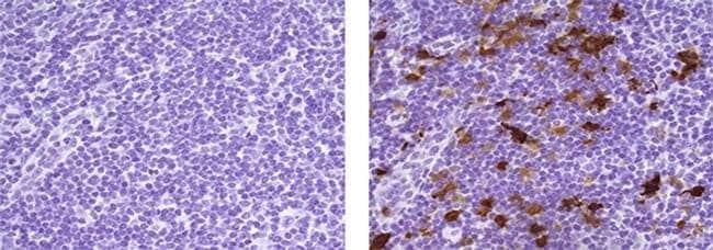 IDO Mouse anti-Human, Clone: V1NC3IDO, eBioscience™ 25 μg; Unconjugated IDO Mouse anti-Human, Clone: V1NC3IDO, eBioscience™