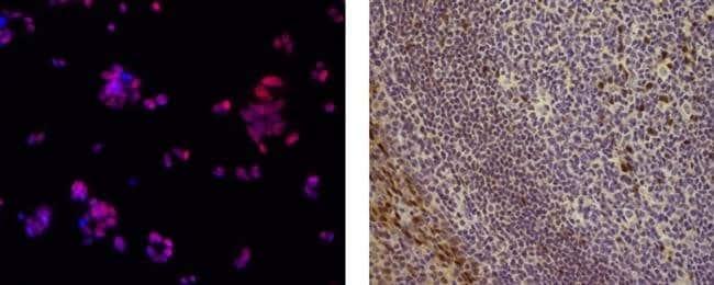 SOX9 Mouse anti-Human, Mouse, Clone: GMPR9, eBioscience ::