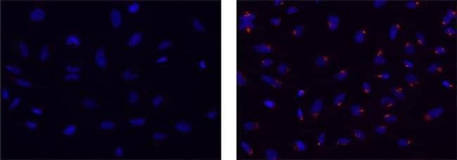 Golgin-97, clone: CDF4, eBioscience™ 25μg; Unconjugated Primary Antibodies Gl to Go