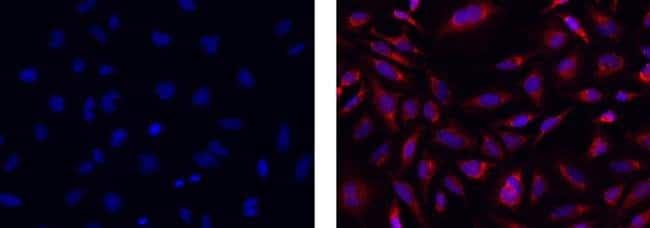 COX4, clone: IB52C31H10, eBioscience™ 25μg; Unconjugated COX4, clone: IB52C31H10, eBioscience™