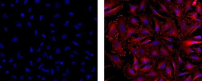 Vinculin Mouse anti-Human, Mouse, Rat, Clone: 7F9, eBioscience™ 100 μg; Unconjugated Vinculin Mouse anti-Human, Mouse, Rat, Clone: 7F9, eBioscience™
