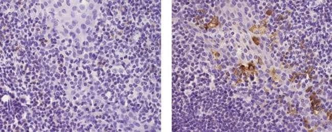 LAMP5 Rat anti-Human, Clone: 34.2, eBioscience™ 100μg; Unlabeled Primary Antibodies L
