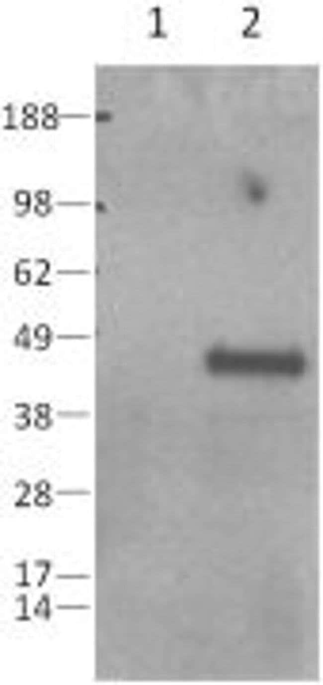 Caspase 1 Rat anti-Mouse, Clone: 5B10, eBioscience  100 µg; Unconjugated