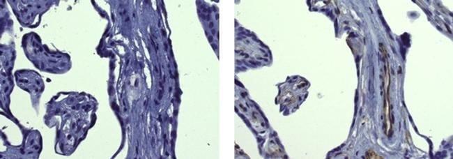 Fibronectin Mouse anti-Human, Clone: FN-3, eBioscience™ 25 μg; Unconjugated Fibronectin Mouse anti-Human, Clone: FN-3, eBioscience™