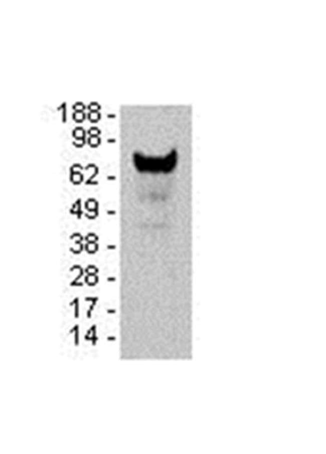 BCL6 Mouse anti-Human, Mouse, Clone: GI191E, eBioscience  25 µg; Unconjugated