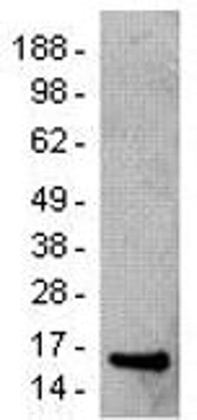 SAP (SLAM-Associated Protein) Mouse anti-Human, Clone: 10C4.2, eBioscience