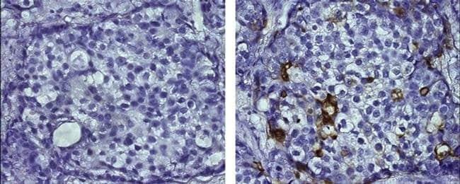 CD227 (Mucin 1) Mouse anti-Human, Clone: SM3, eBioscience™ 25 μg; Unconjugated CD227 (Mucin 1) Mouse anti-Human, Clone: SM3, eBioscience™