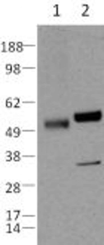 Caspase 8 Rat anti-Human, Clone: 1H10, eBioscience ::