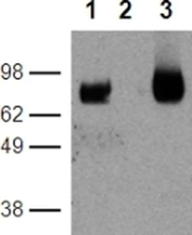 CD39 Rat anti-Mouse, Functional Grade, Clone: 24DMS1, eBioscience  200