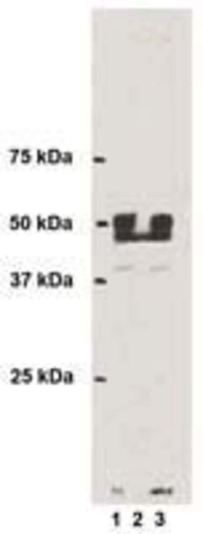 3-Nitrotyrosine Mouse anti-Chemical, Clone: 2A12, Invitrogen 100 μg;