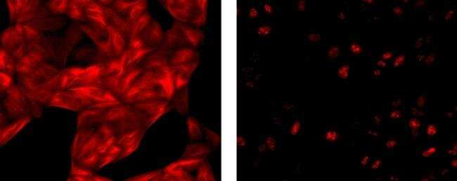 IgG1 Rat anti-Mouse, eFluor® 615, eBioscience™ 25μg; eFluor 615 IgG1 Rat anti-Mouse, eFluor® 615, eBioscience™