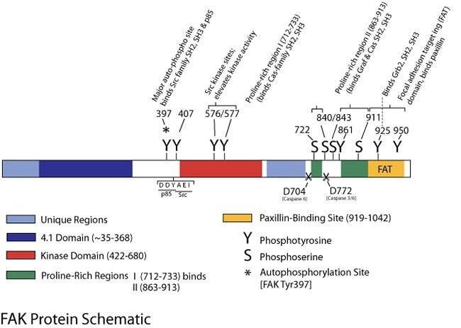 Phospho-FAK (Tyr407) Rabbit anti-Chicken, Human, Mouse, Rat, Polyclonal, Invitrogen™ 100 μL; Unconjugated Primary Antibodies F1 to Fc
