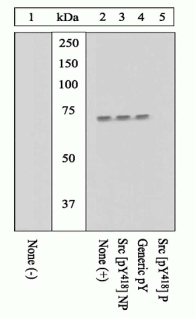Phospho-SRC (Tyr419) Rabbit anti-Chicken, Human, Mouse, Polyclonal, Invitrogen™ 100 μL; Unconjugated Primary Antibodies Sn to Sr