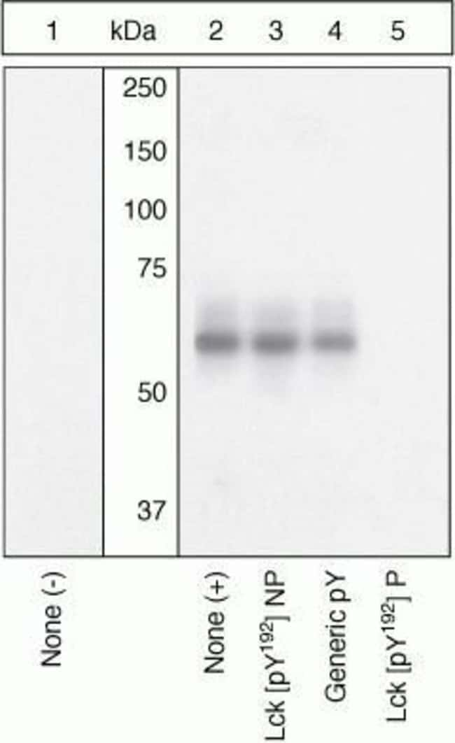 Phospho-LCK (Tyr192) Rabbit anti-Human, Polyclonal, Invitrogen  100 µL;