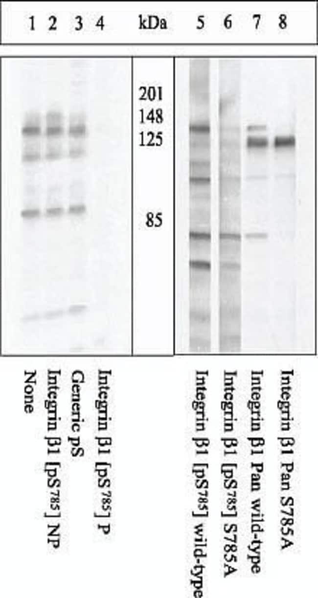Phospho-ITGB1 (Ser785) Rabbit anti-Chicken, Human, Mouse, Polyclonal, Invitrogen