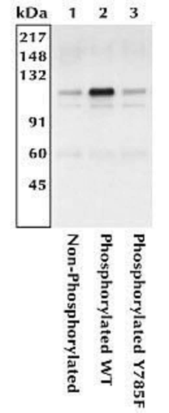 Phospho-CD61 (Tyr785) Rabbit anti-Human, Polyclonal, Invitrogen  100 µL;