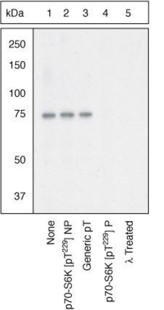 Phospho-p70 S6 Kinase (Thr229) Rabbit anti-Human, Polyclonal, Invitrogen