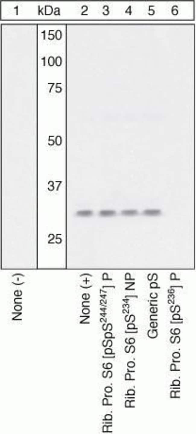 Phospho-S6 (Ser236) Rabbit anti-Human, Polyclonal, Invitrogen  100 µL;