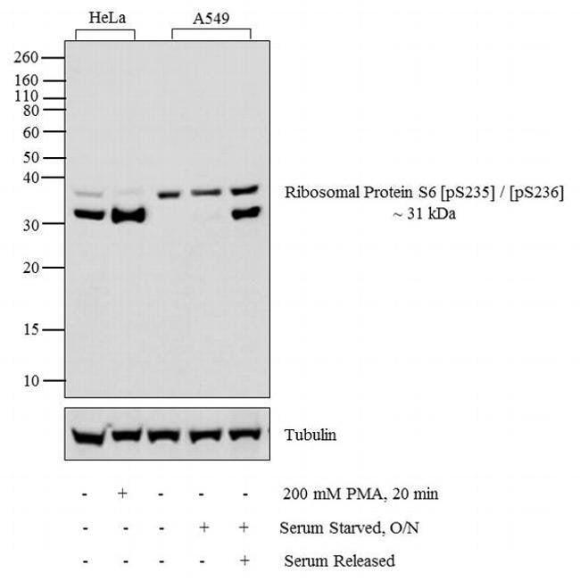 Phospho-S6 (Ser235, Ser236) Rabbit anti-Human, Polyclonal, Invitrogen